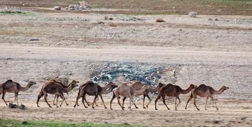 herd of wild camels in Israel