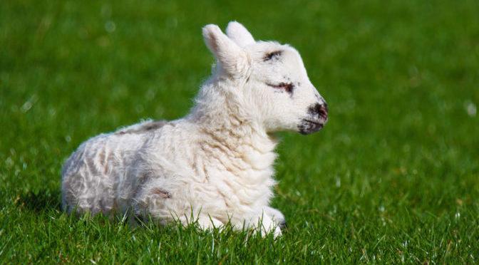 Newborn spring lamb (Petr Kratochvil / PublicDomainPictures.net)